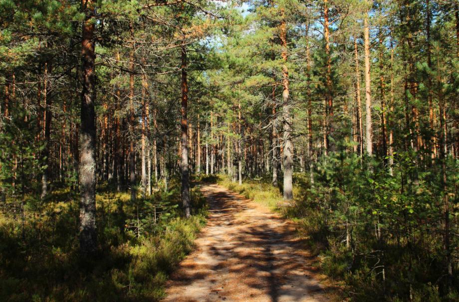 Рядом лес. за ягодами и гребами